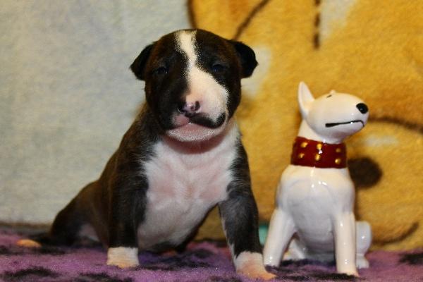 Щенки находятся в объявление о продаже щенки миниатюрного бультерьерапо цене 30000 рублей в городе москве на
