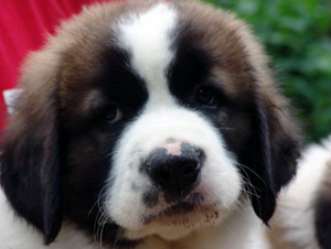 фото московской сторожевой щенок