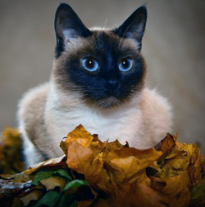 Тайская кошка описание наши лучшие