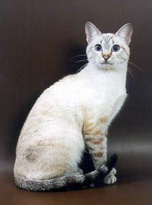 Тайские коты в минске