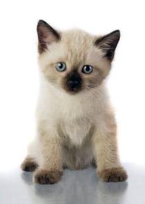 коты фото сиамские