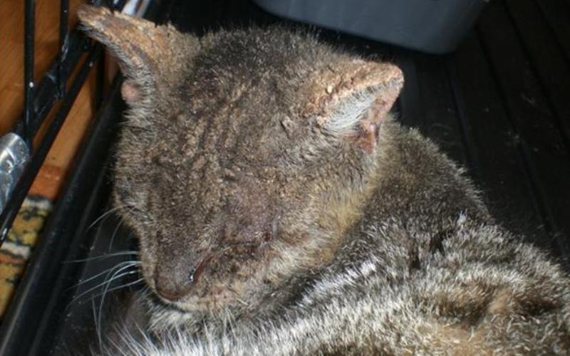 Лечение демодекоза у кошки в домашних условиях