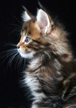котенок мейнкун