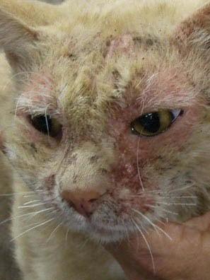 Что дать кошке от аллергии