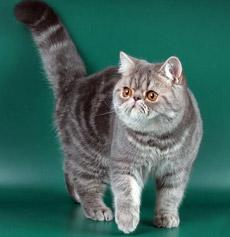Сколько стоят персидский коты
