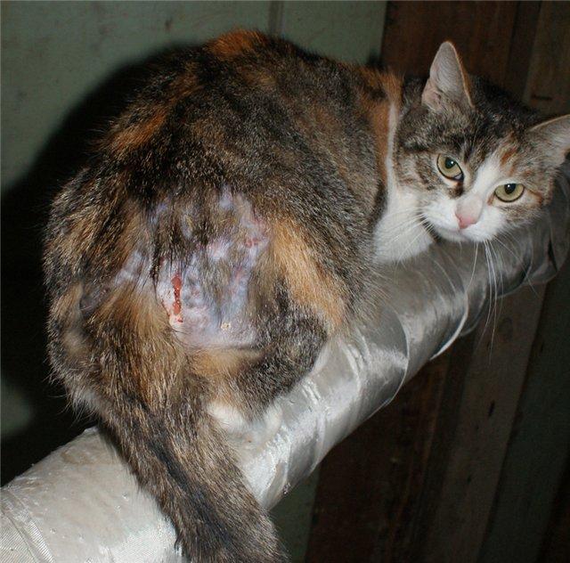 У кота на лапе гнойная рана