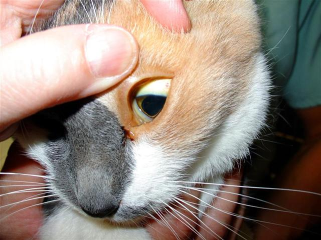 Желтая слизистая у кота