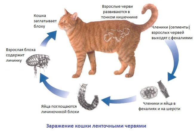 Глисты у кошек лечение