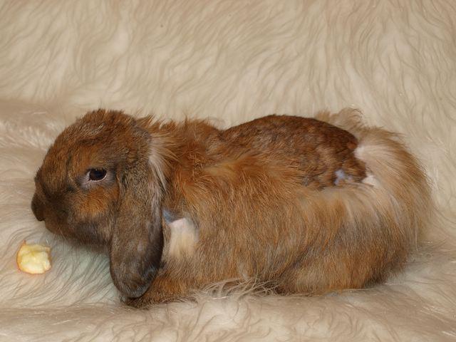 Почему линяет кролик декоративный