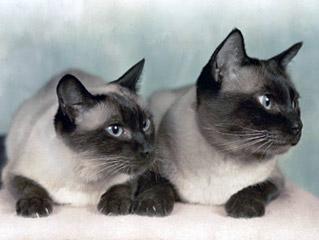 Британский и сиамский кот