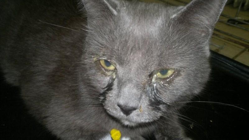 Слезятся глаза у кошки чем лечить