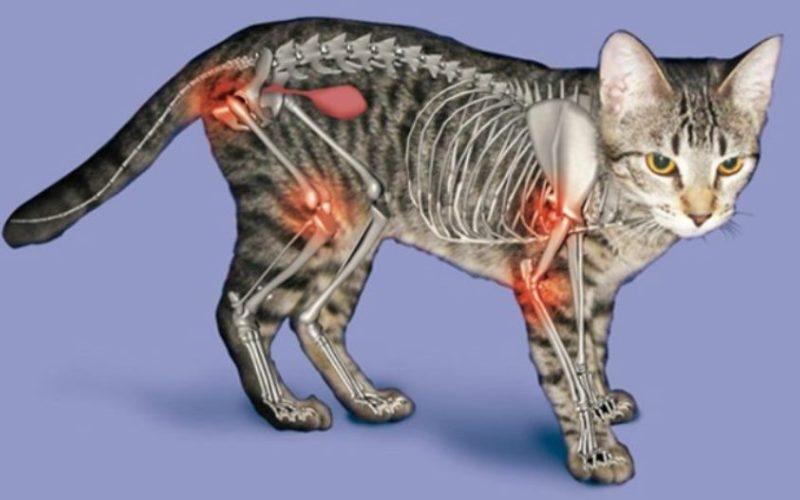 Артрит у кошек и котов симптомы лечение препараты причины появления