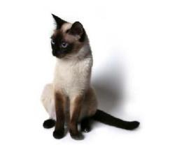 Фото сиамских котов и кошек