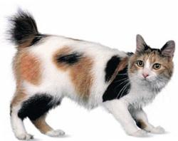 Японский бобтейл: кошка для ценителей