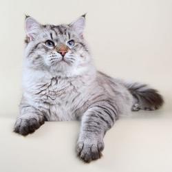 Кошки породы невская маскарадная