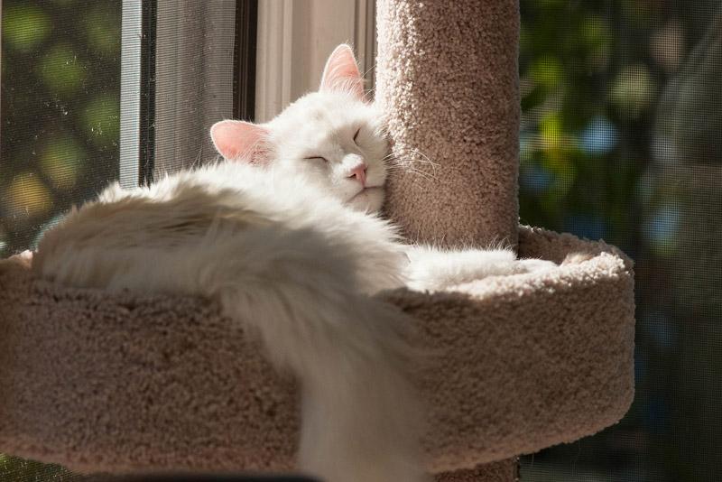 Кошка турецкая ангора фото 5