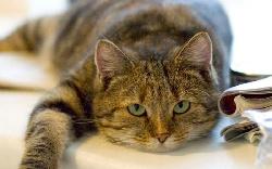 Болезни Вялость и слабость у кошек
