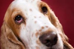 Болезни Красные глаза у собак