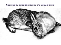 Болезни Листериоз у Кроликов