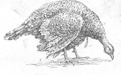 Болезни Чума у птиц (кур, голубей)