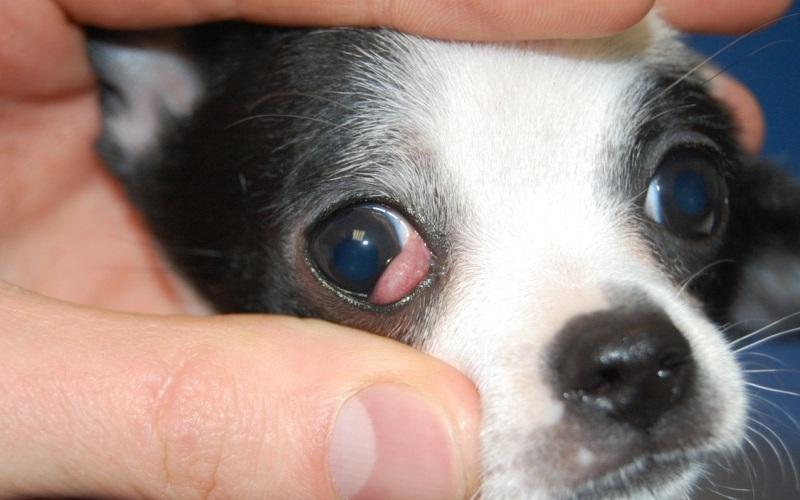 пример аденомы третьего века у собак