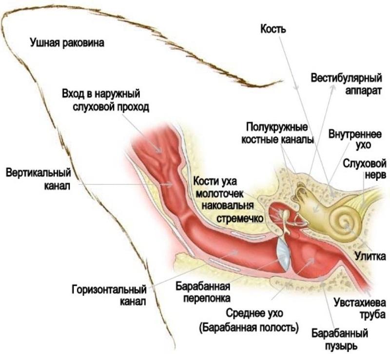 Анатомическое строение уха кошки