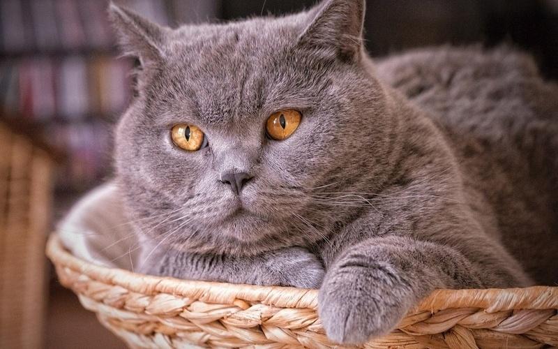 Отличия британских короткошерстных кошек от других
