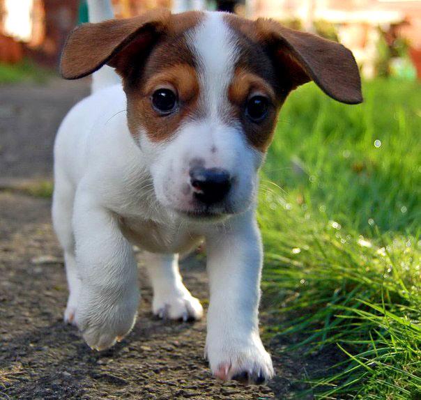 собаки породы терьер фото