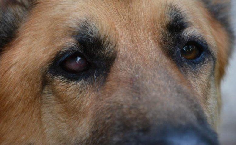 пример кератита у собак