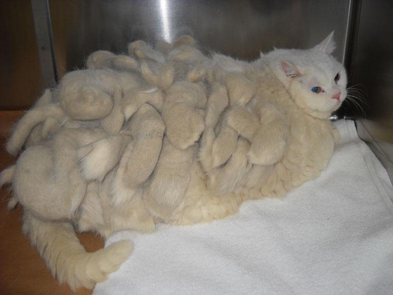 Колтуны у длинношерстной кошки