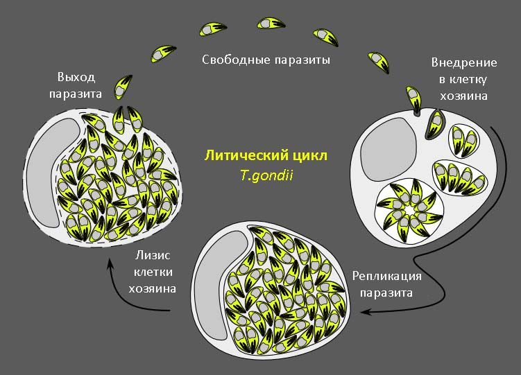 Литический цикл (вегетативное размножение)