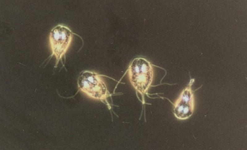 Лямблии под микроскопом