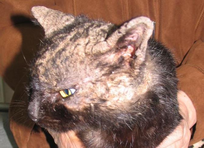 кожные заболевания у кошек фото и лечение