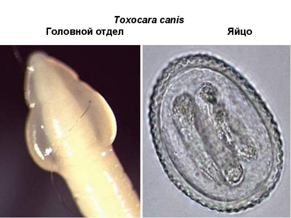 Т. canis - головной отдел и яйцо паразита