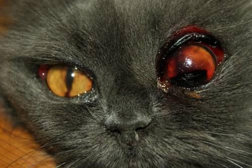 Красные глаза у кошек - симптомы, лечение, препараты, причины ...