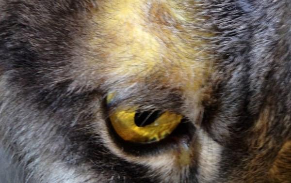 описторхоз у кошек лечение препараты